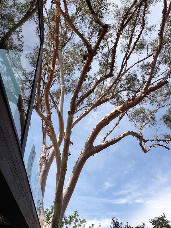 oakpass tree